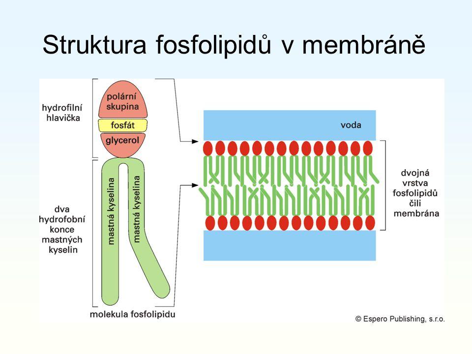 Struktura fosfolipidů v membráně