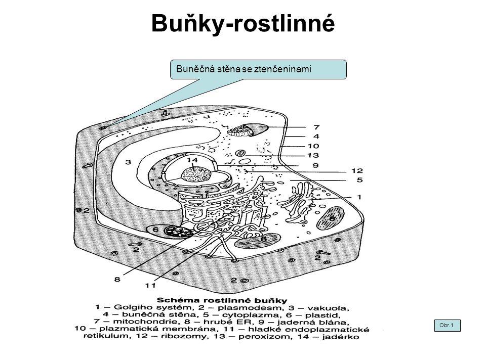 Buňky-rostlinné Buněčná stěna se ztenčeninami Obr.1