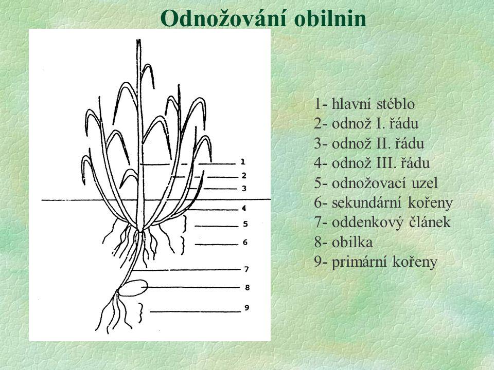 Odnožování obilnin 1- hlavní stéblo 2- odnož I. řádu 3- odnož II. řádu