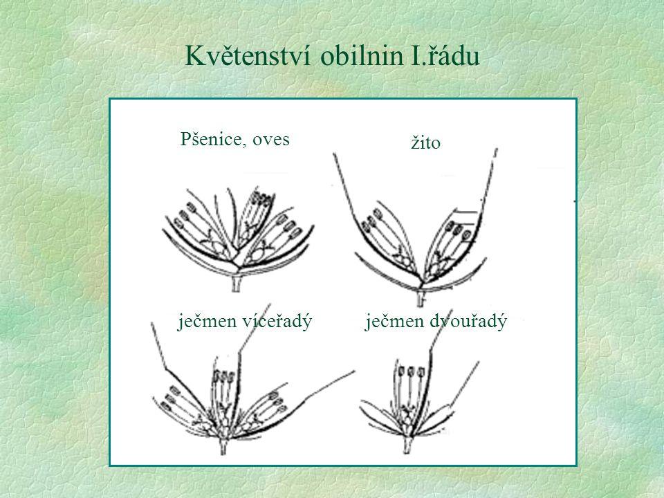 Květenství obilnin I.řádu