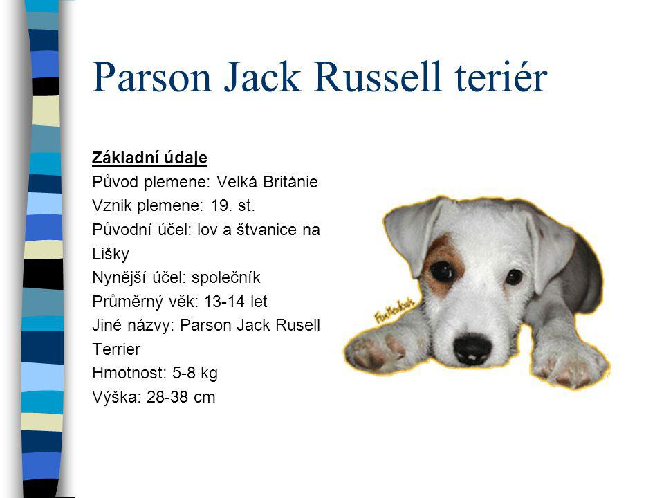 Parson Jack Russell teriér