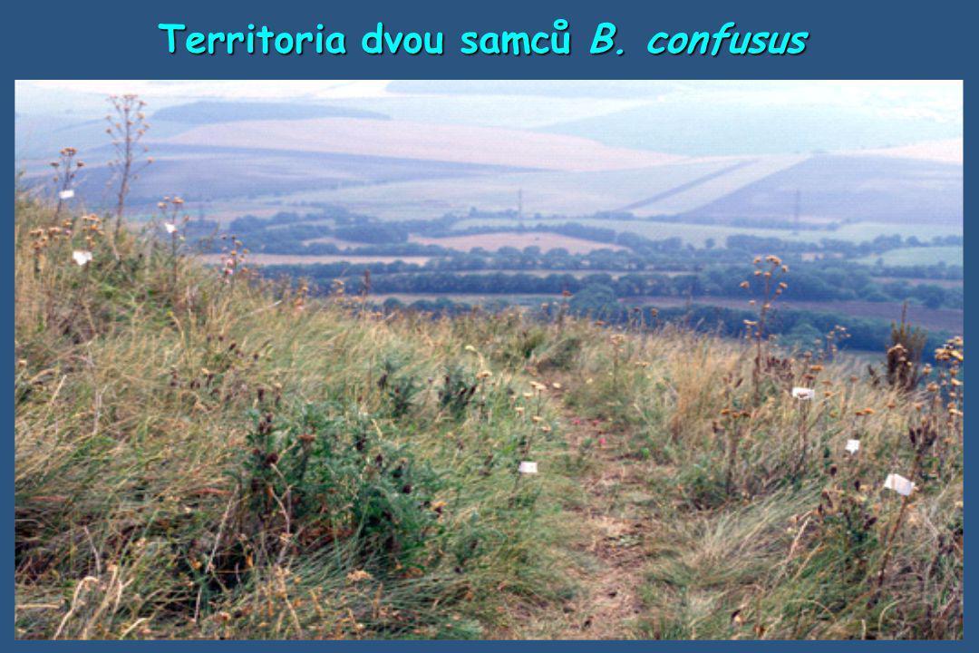 Territoria dvou samců B. confusus