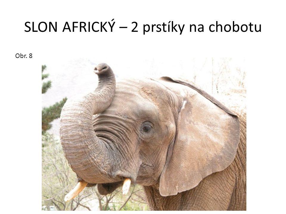 SLON AFRICKÝ – 2 prstíky na chobotu