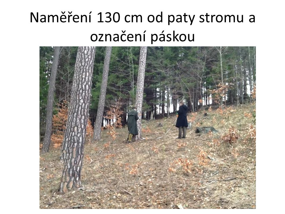 Naměření 130 cm od paty stromu a označení páskou