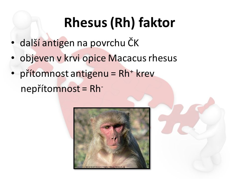 Rhesus (Rh) faktor další antigen na povrchu ČK