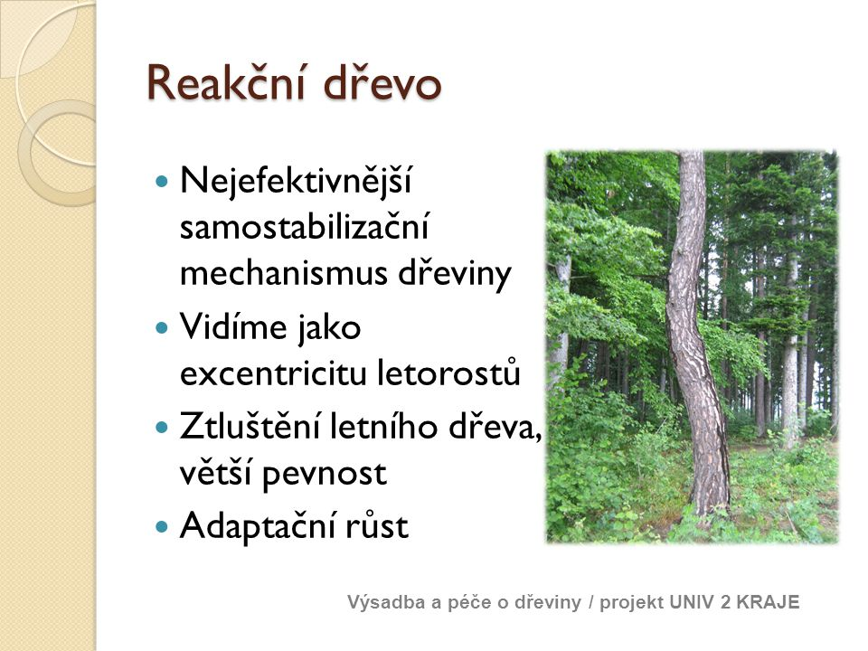 Reakční dřevo Nejefektivnější samostabilizační mechanismus dřeviny