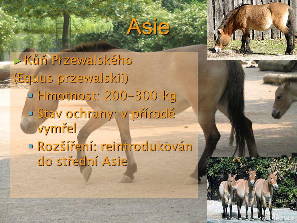 Asie Kůň Przewalského (Equus przewalskii) Hmotnost: 200-300 kg