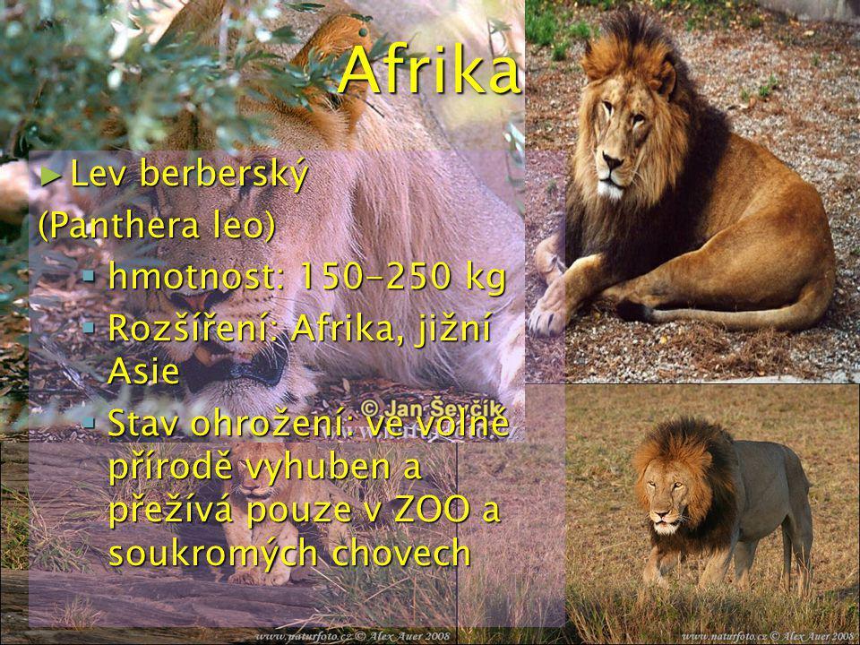 Afrika Lev berberský (Panthera leo) hmotnost: 150-250 kg