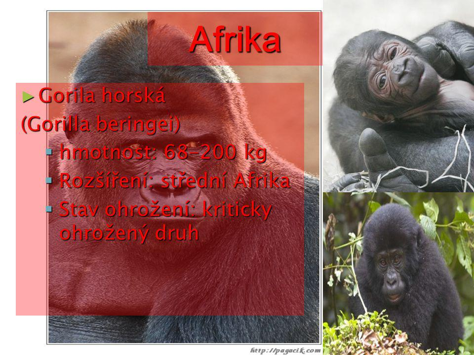 Afrika Gorila horská (Gorilla beringei) hmotnost: 68-200 kg