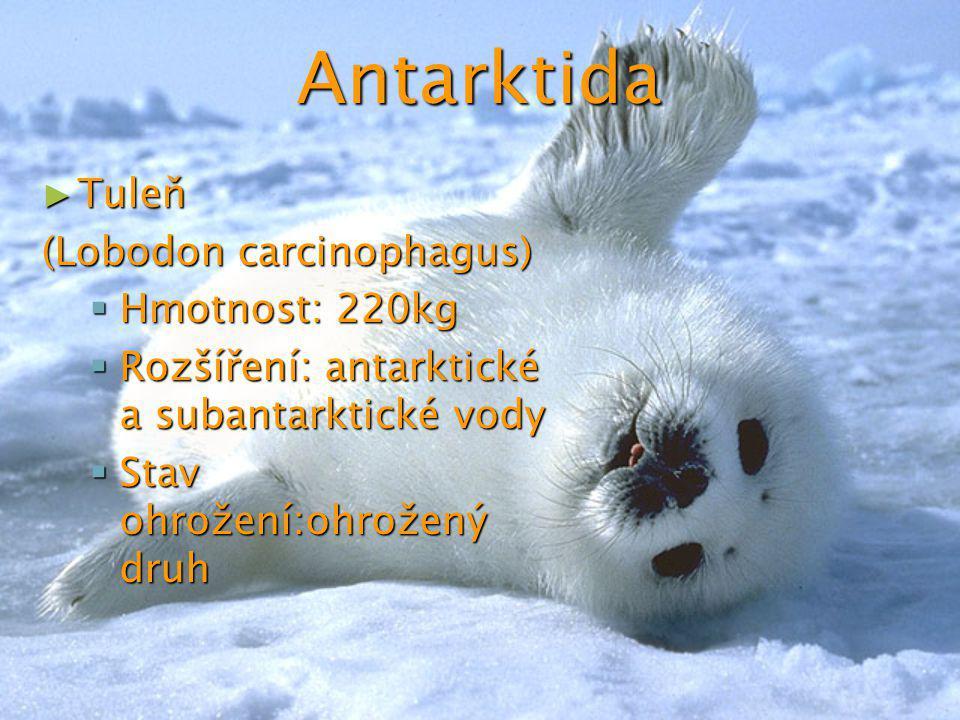 Antarktida Tuleň (Lobodon carcinophagus) Hmotnost: 220kg