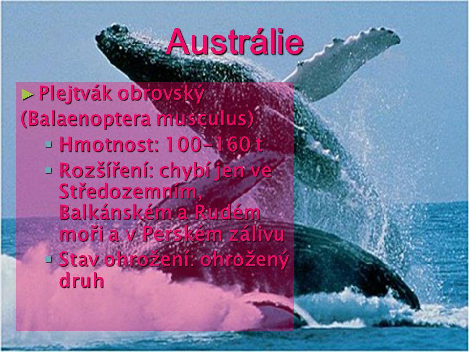 Austrálie Plejtvák obrovský (Balaenoptera musculus)