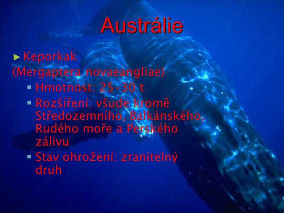 Austrálie Keporkak (Mergaptera novaeangliae) Hmotnost: 25-30 t