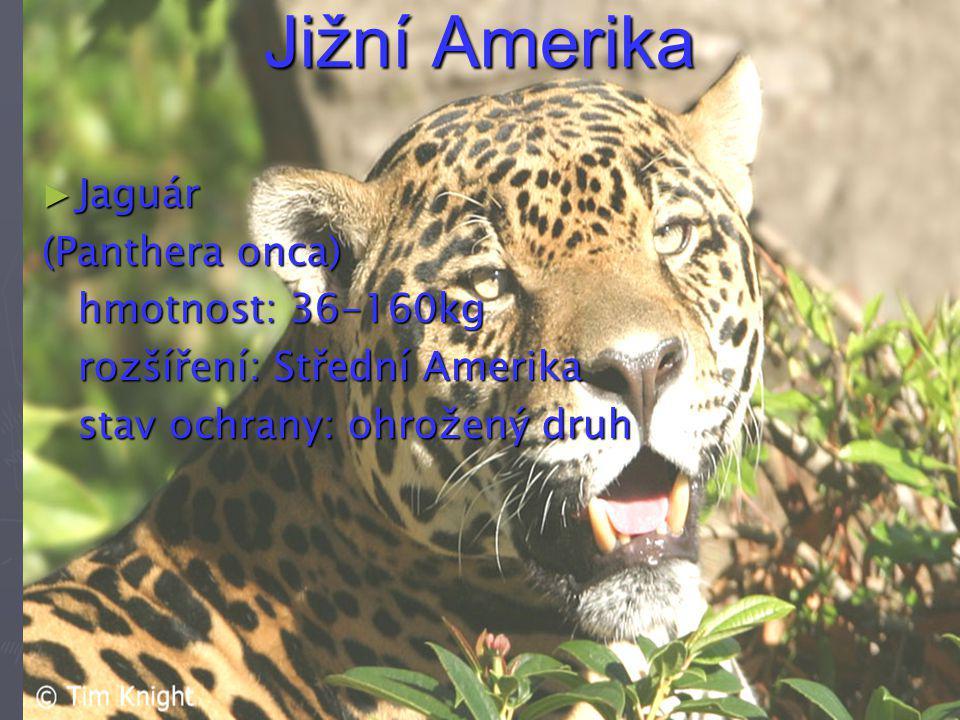 Jižní Amerika Jaguár (Panthera onca) hmotnost: 36-160kg