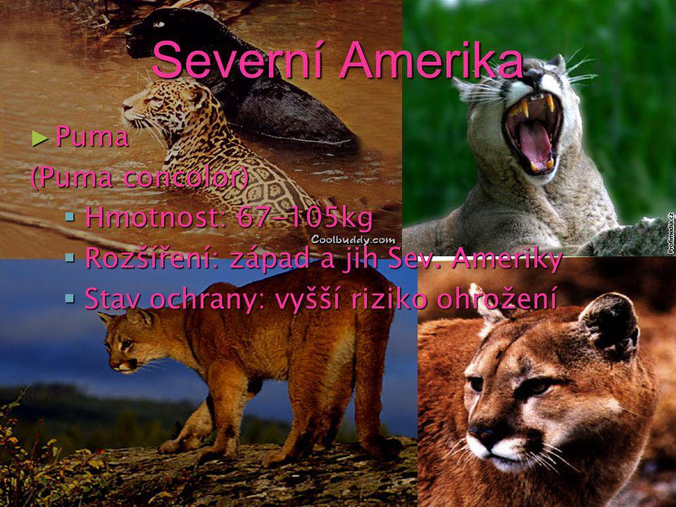 Severní Amerika Puma (Puma concolor) Hmotnost: 67-105kg