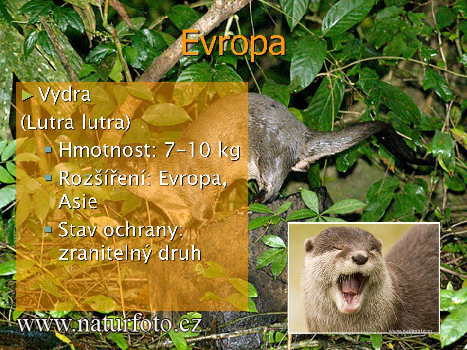 Evropa Vydra (Lutra lutra) Hmotnost: 7-10 kg Rozšíření: Evropa, Asie
