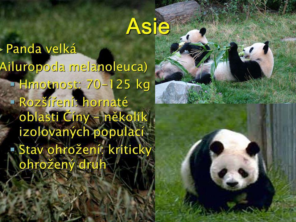 Asie Panda velká (Ailuropoda melanoleuca) Hmotnost: 70-125 kg
