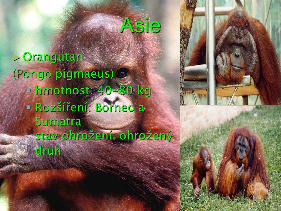 Asie Orangutan (Pongo pigmaeus) hmotnost: 40-80 kg