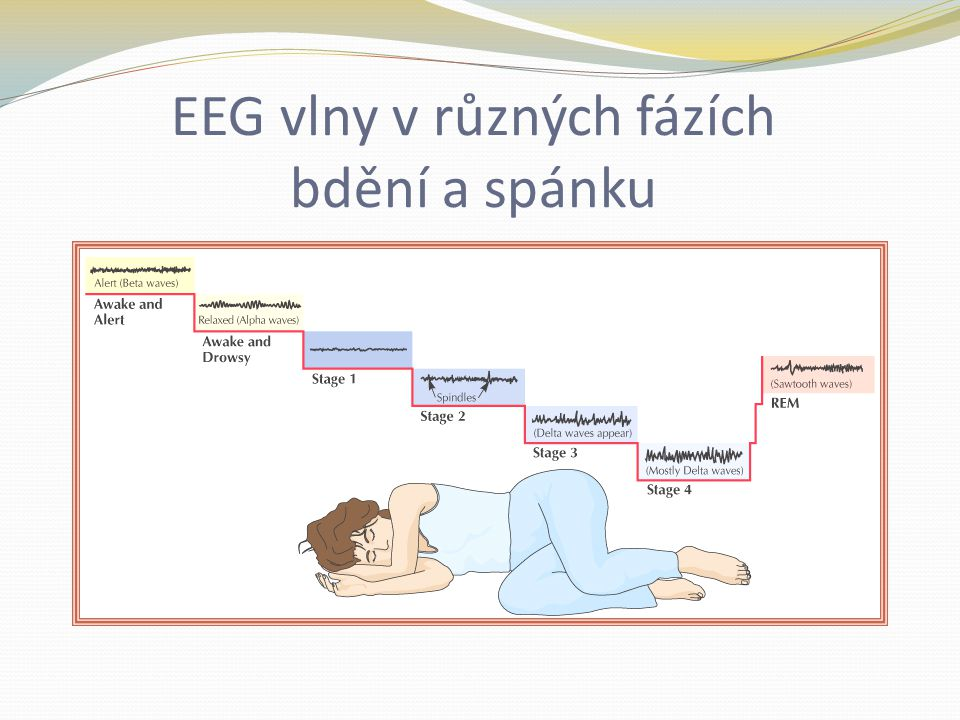 EEG vlny v různých fázích bdění a spánku