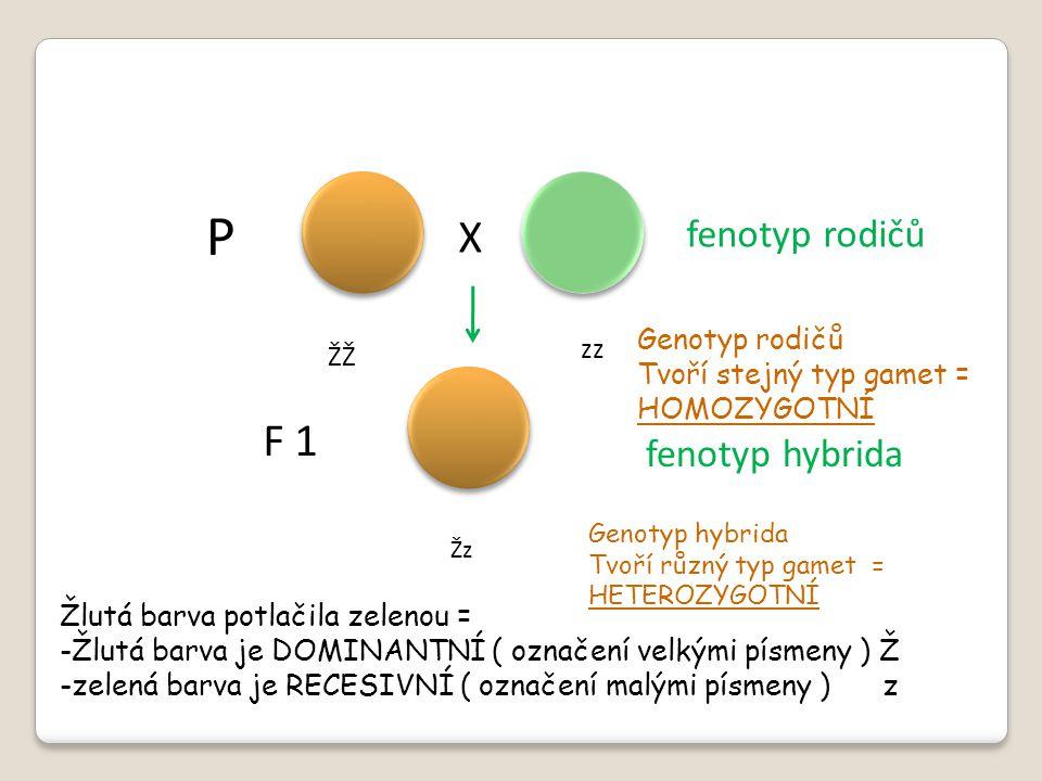 P X F 1 fenotyp rodičů fenotyp hybrida Genotyp rodičů zz ŽŽ