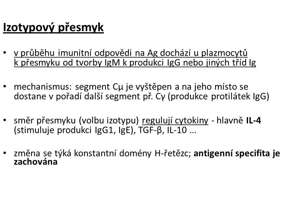 Izotypový přesmyk v průběhu imunitní odpovědi na Ag dochází u plazmocytů k přesmyku od tvorby IgM k produkci IgG nebo jiných tříd Ig.