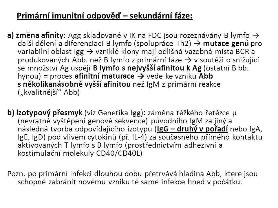 Primární imunitní odpověď – sekundární fáze: