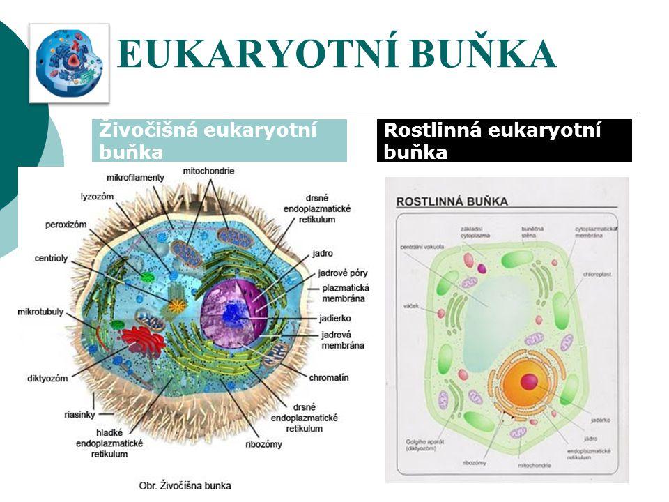 EUKARYOTNÍ BUŇKA Živočišná eukaryotní buňka Rostlinná eukaryotní buňka