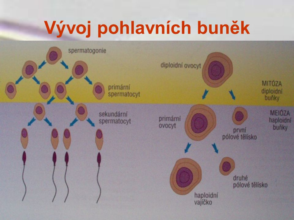 Neplodnost nemoc mnoha p in ppt st hnout for Mural granulosa cells