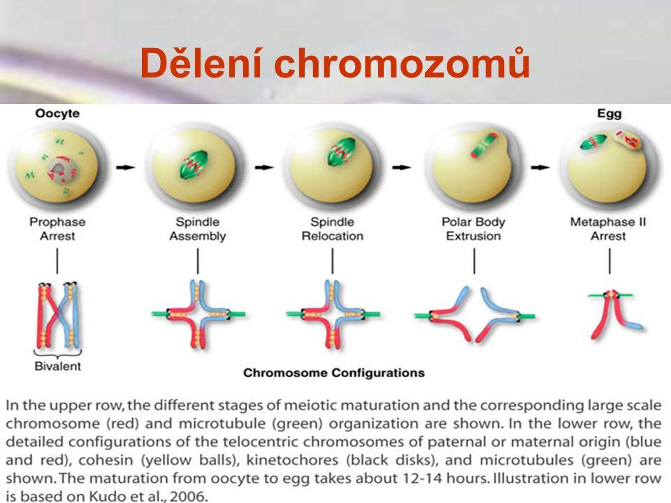 Dělení chromozomů