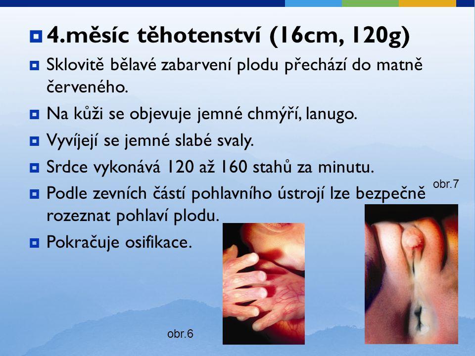 4.měsíc těhotenství (16cm, 120g)