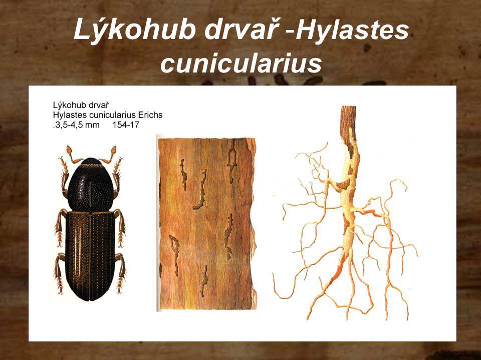 Lýkohub drvař -Hylastes cunicularius