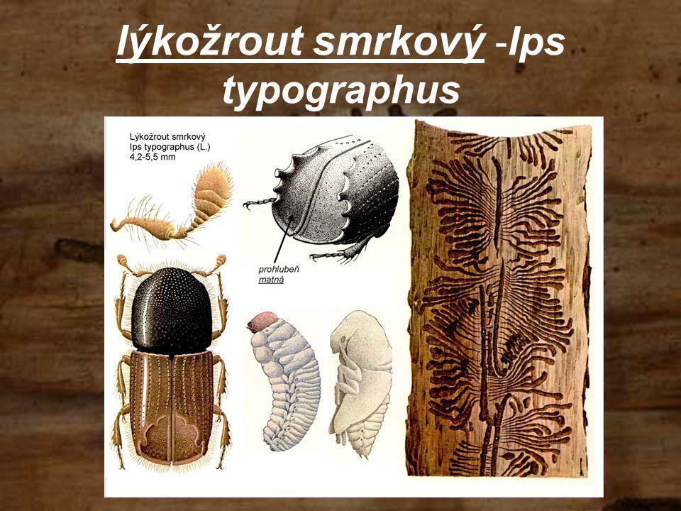 lýkožrout smrkový -Ips typographus