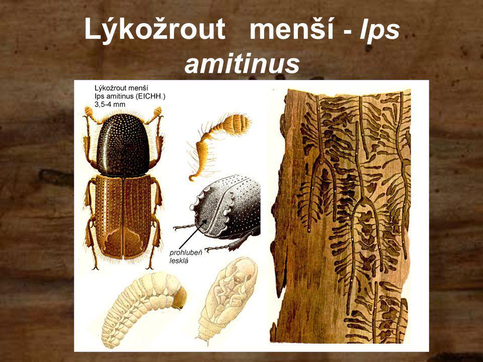 Lýkožrout menší - Ips amitinus