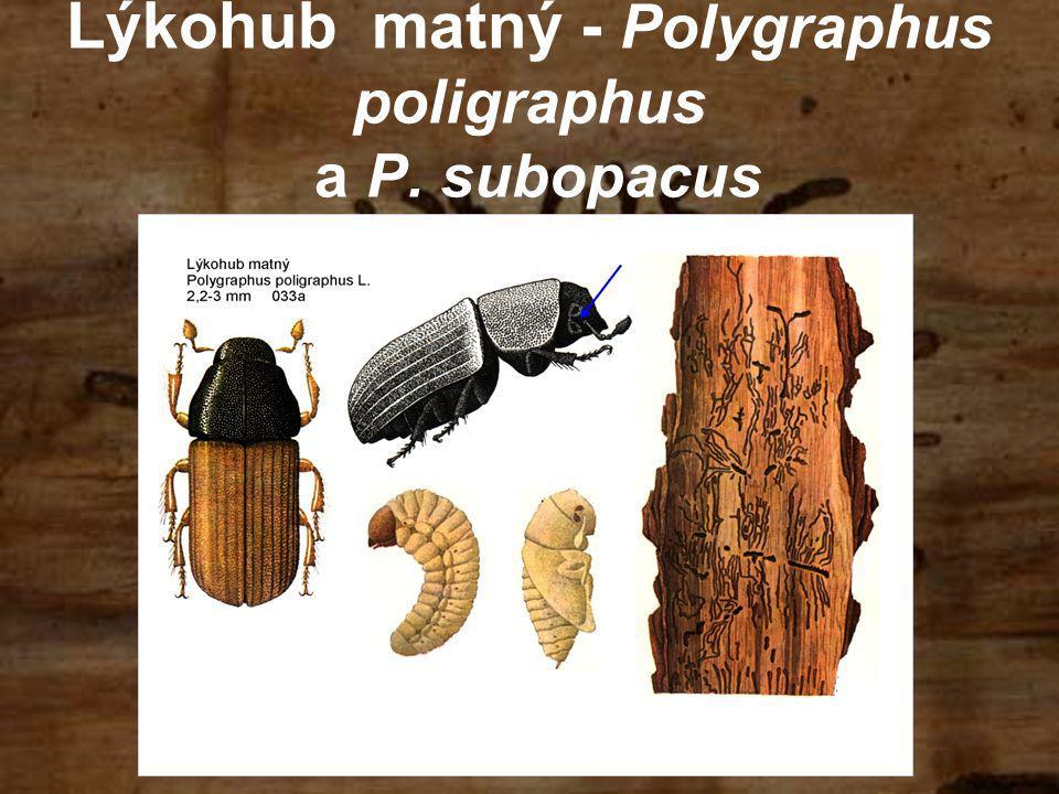 Lýkohub matný - Polygraphus poligraphus a P. subopacus
