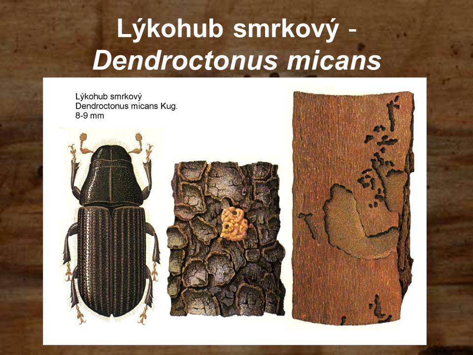 Lýkohub smrkový -Dendroctonus micans