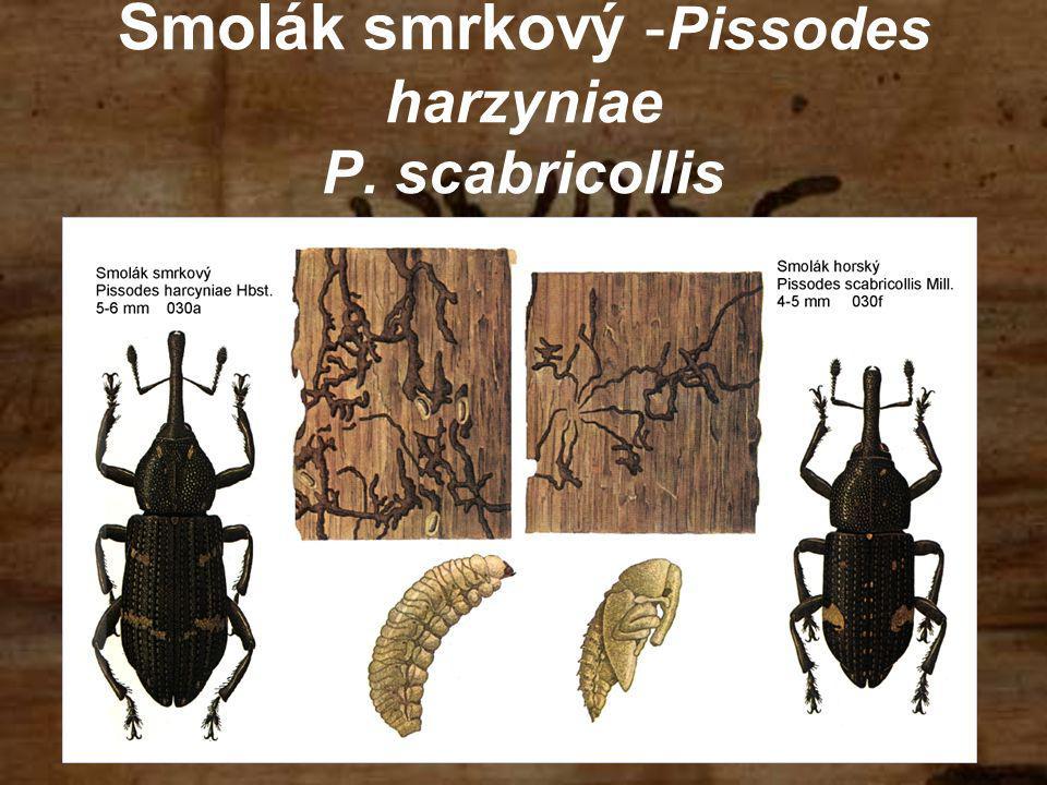 Smolák smrkový -Pissodes harzyniae P. scabricollis