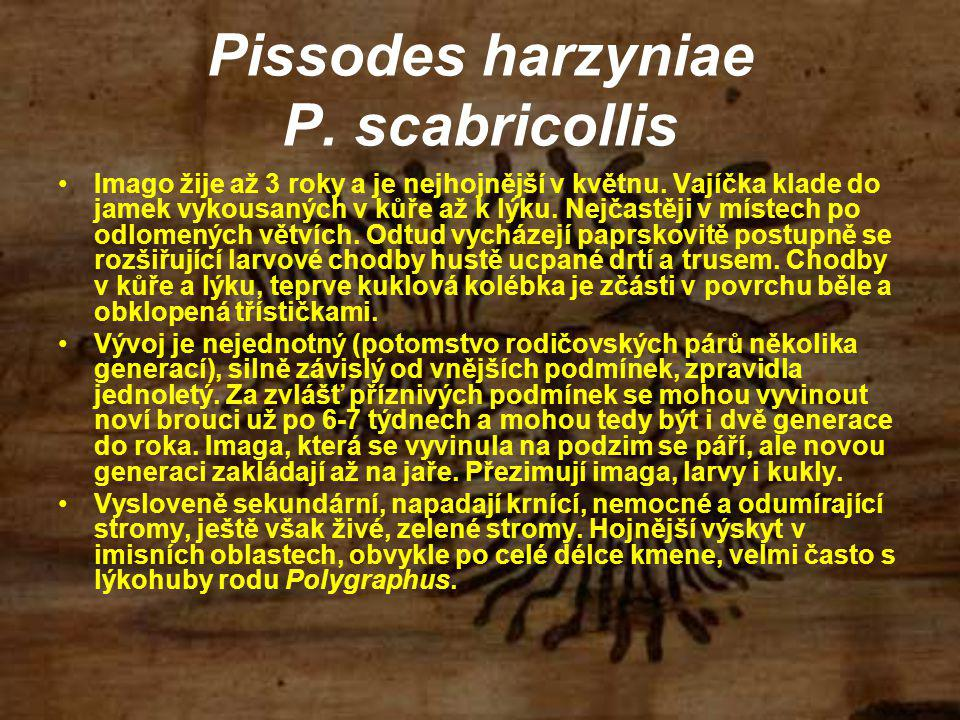 Pissodes harzyniae P. scabricollis