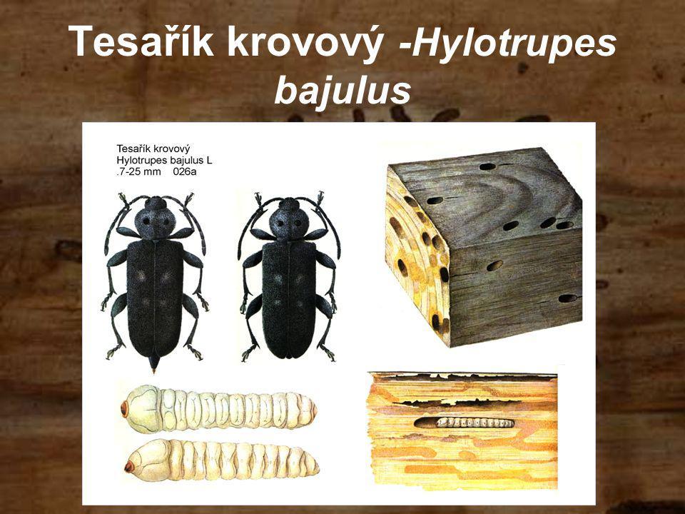 Tesařík krovový -Hylotrupes bajulus