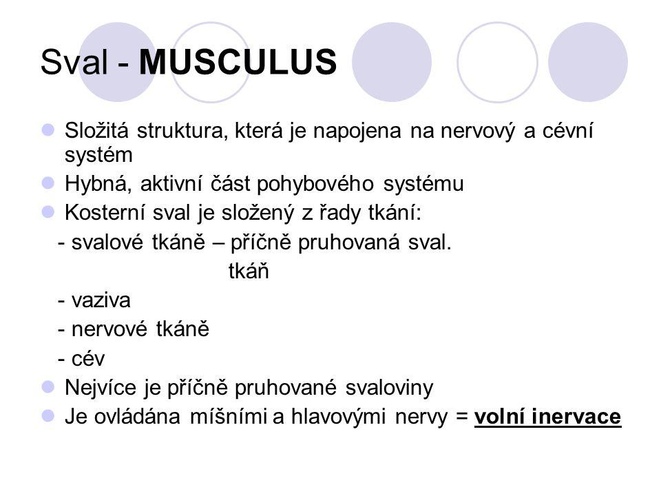 Sval - MUSCULUS Složitá struktura, která je napojena na nervový a cévní systém. Hybná, aktivní část pohybového systému.