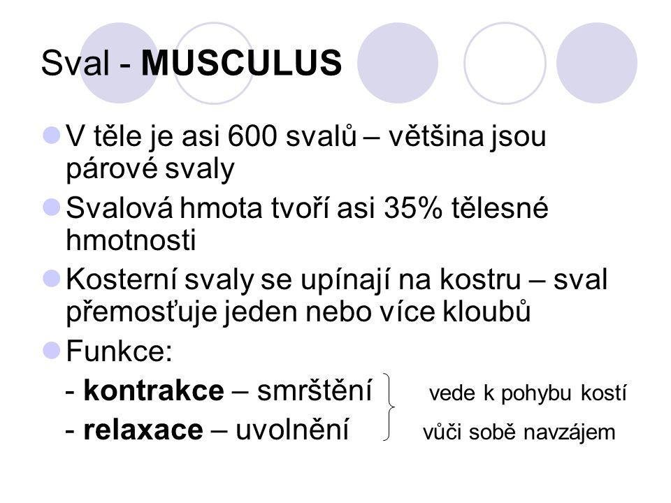 Sval - MUSCULUS V těle je asi 600 svalů – většina jsou párové svaly