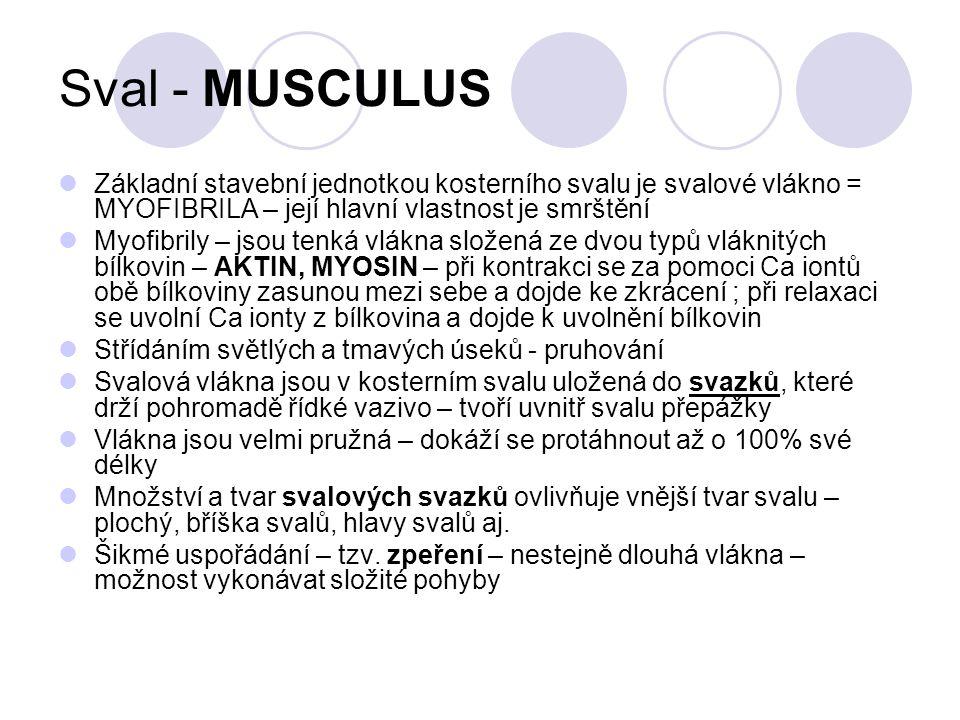Sval - MUSCULUS Základní stavební jednotkou kosterního svalu je svalové vlákno = MYOFIBRILA – její hlavní vlastnost je smrštění.