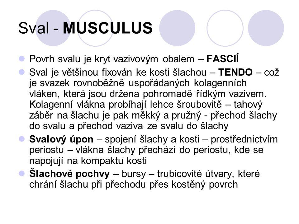 Sval - MUSCULUS Povrh svalu je kryt vazivovým obalem – FASCIÍ