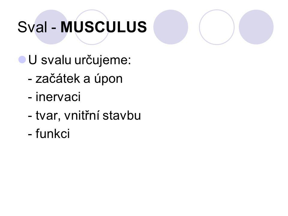 Sval - MUSCULUS U svalu určujeme: - začátek a úpon - inervaci