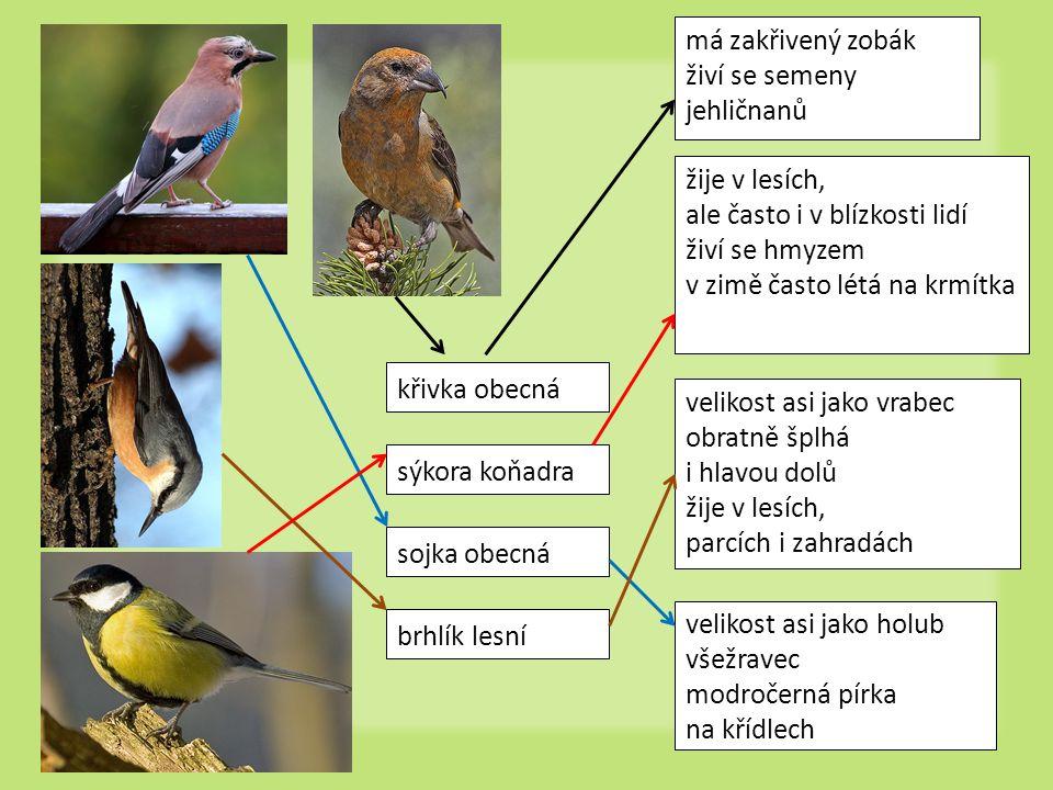 má zakřivený zobák živí se semeny jehličnanů. žije v lesích, ale často i v blízkosti lidí. živí se hmyzem.