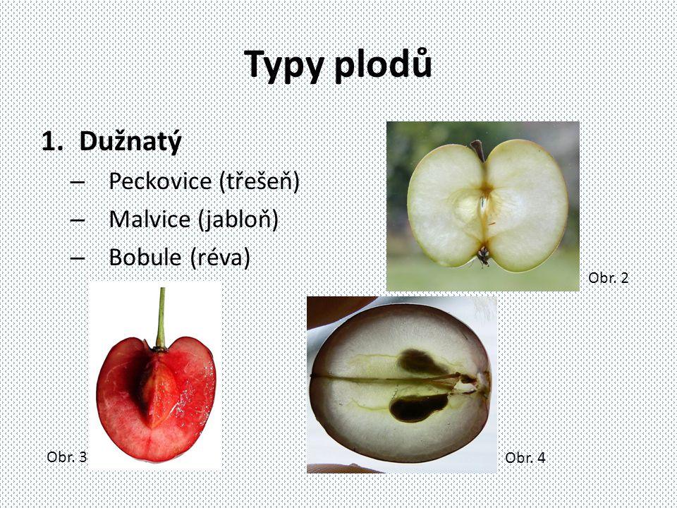 Typy plodů Dužnatý Peckovice (třešeň) Malvice (jabloň) Bobule (réva)