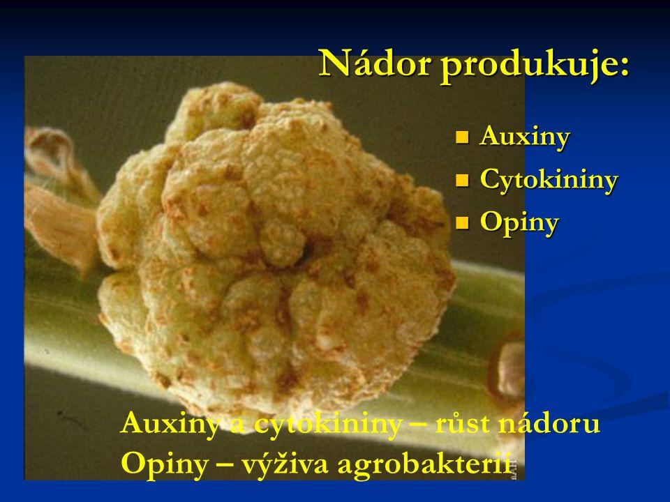 Nádor produkuje: Auxiny a cytokininy – růst nádoru