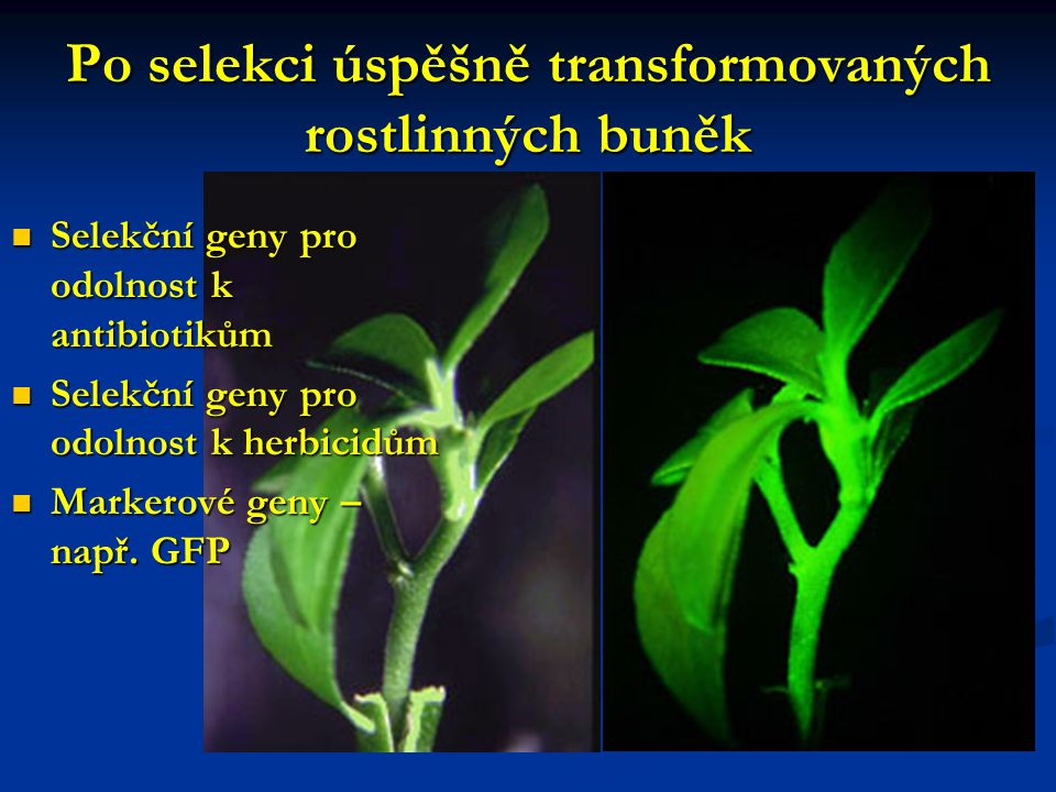 Po selekci úspěšně transformovaných rostlinných buněk