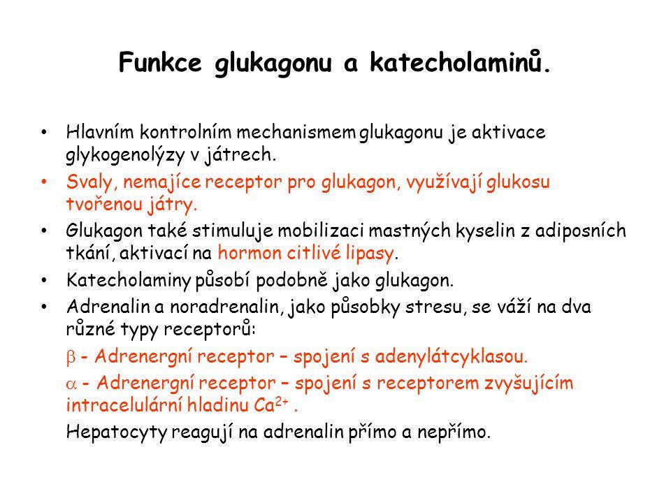 Funkce glukagonu a katecholaminů.
