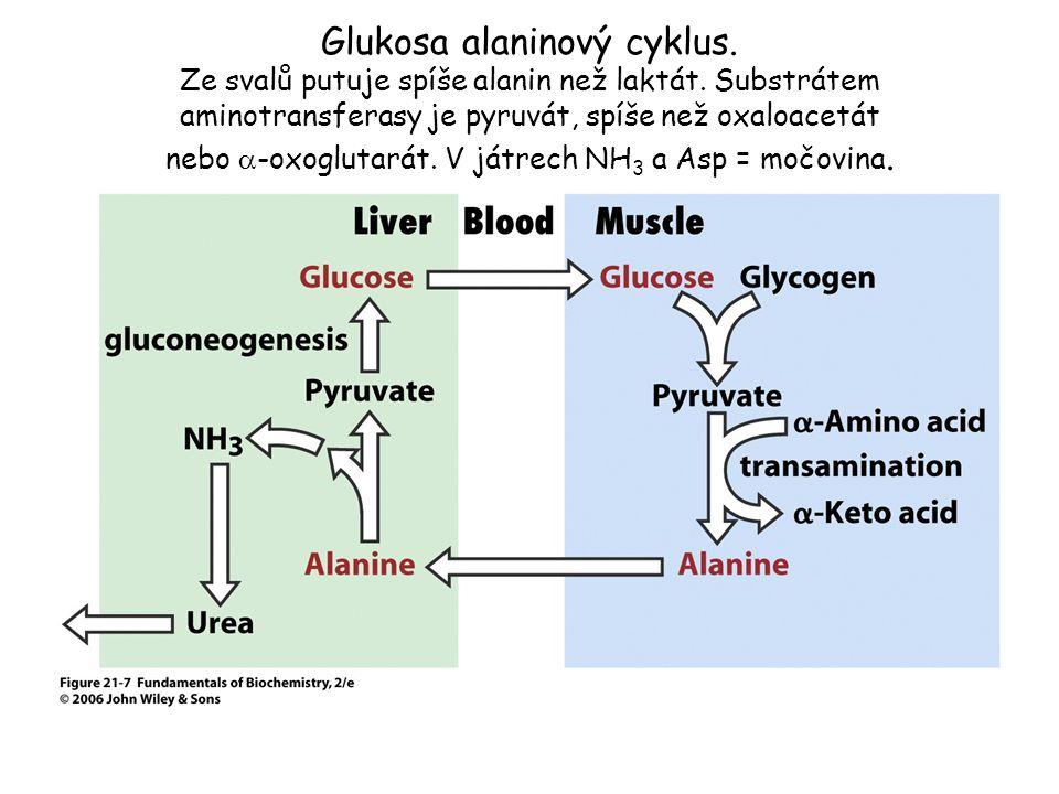 Glukosa alaninový cyklus. Ze svalů putuje spíše alanin než laktát