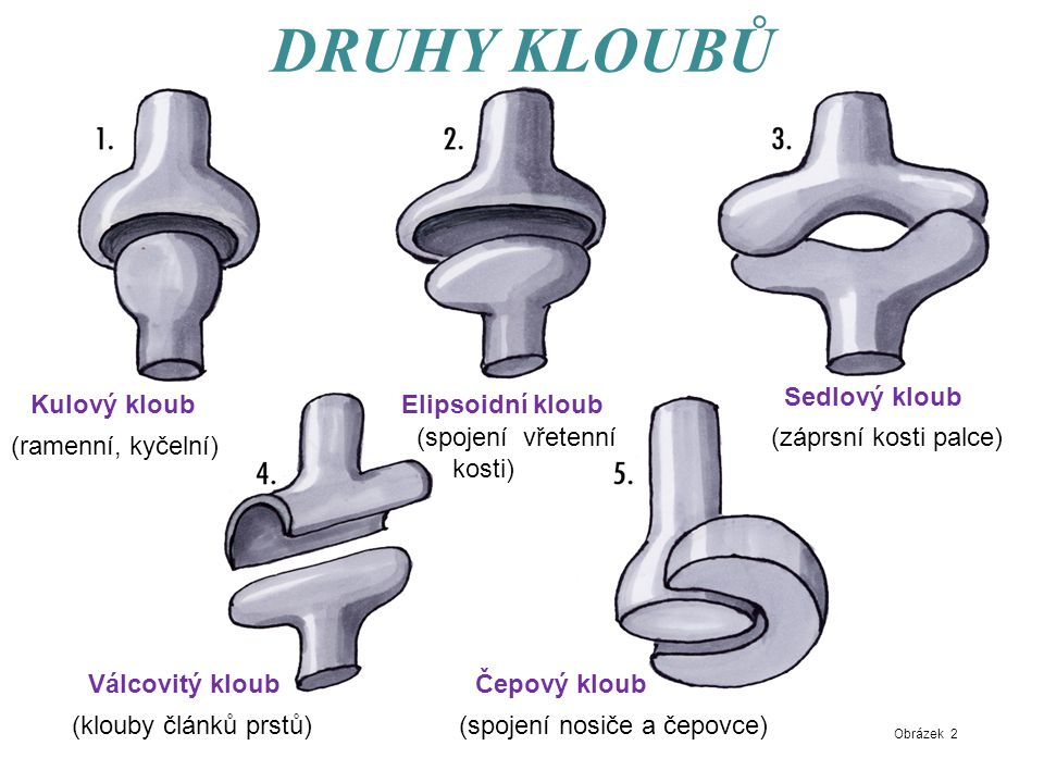 DRUHY KLOUBŮ Sedlový kloub Kulový kloub Elipsoidní kloub