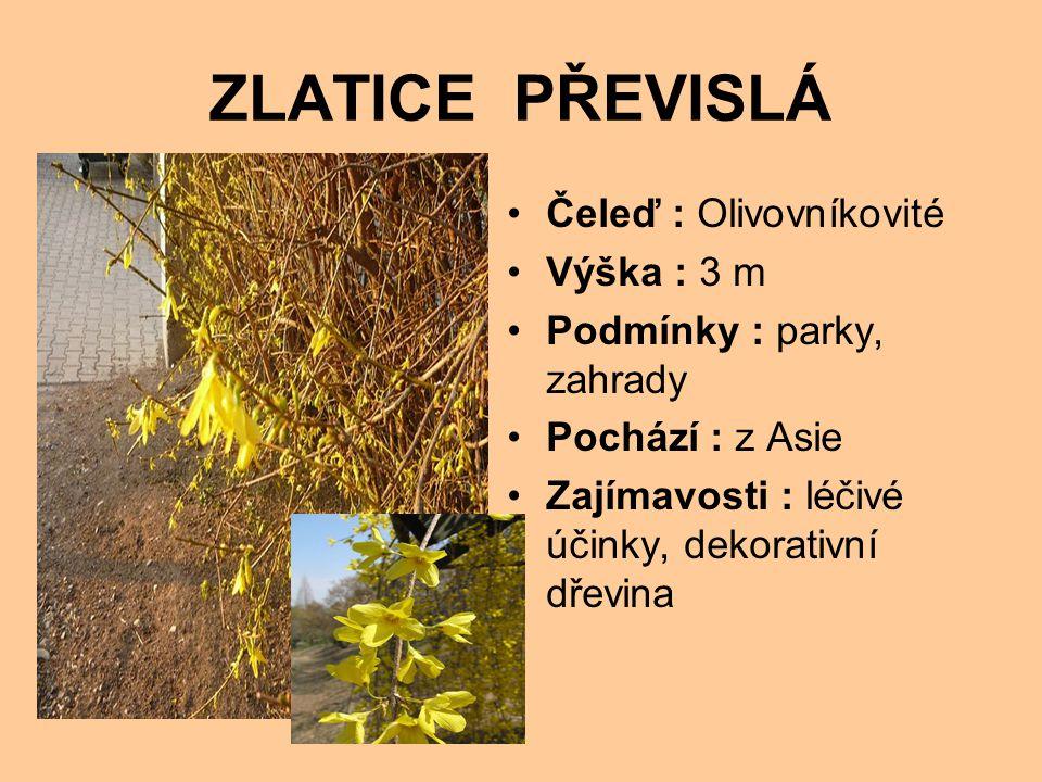 ZLATICE PŘEVISLÁ Čeleď : Olivovníkovité Výška : 3 m